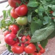 Signora F1 - 500 sem - Seminte de rosii crestere nedeterminata cu fructe frumos colorate rotunde ferme si gust extraordinar de bun avand greutate medie de 250-300 grame/fruct de la Esasem