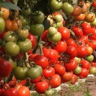 Siriana F1 – 2 gr – Seminte Tomate Romanesti Hibrid nedeterminat semitimpuriu deosebit de gustos de la SCDL Buzau