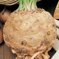 Telina de radacina Gigante di Praga (1 kg), seminte de telina soi gigant foarte productiv, Agrosem