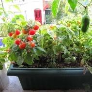 Tomatele cherry Tiny Tim - 0,15 gr- Seminte Tomatele cherry Tiny Tim tip Cireasa