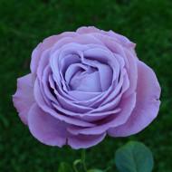 Trandafir Blue Angel (1 butas), trandafir albastru, butasi de trandafiri