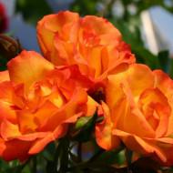 Trandafir Bonanza (1 butas), trandafir cu flori orange, elegante si cu parfum fin, butasi de trandafiri