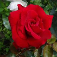 Trandafir Erika Plumar (1 butas), trandafir rosu, butasi de trandafiri