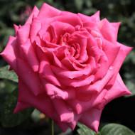 Trandafir Isabel de Ortiz (1 butas), flori mari, sublime, cu petale roz, butasi de trandafiri