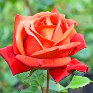 Trandafir Monika (1 butas) soi deosebit, culoare vie, butasi de trandafiri