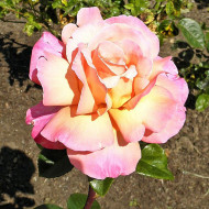 Trandafir Peace (1 butas), trandafir premiat, cu flori colorate intr-o combinatie unica de galben-crem si roz-purpuriu, butasi de trandafiri