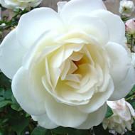 Trandafir Polyantha Crystal, butasi de trandafiri cu flori mari, discret parfumate, de culoare alb imaculat, Yurta
