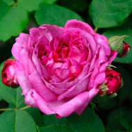 Trandafir Reine dev Viole (1 butas), trandafir violet inchis, butasi de trandafiri