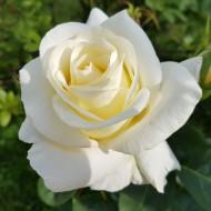 Trandafir White Rose (1 butas), viguros si bine ramificat, butasi de trandafiri