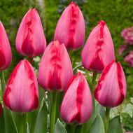 Trick (8 bulbi), lalele roz ciclam, bulbi de flori