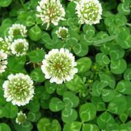 Trifoi Alb Pitic (1 kg) seminte trifoi alb calitate superioara, Agrosel
