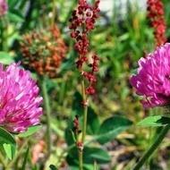 Trifoi Rosu - 500 gr - Seminte de Trifoi Rosu Calitate Superioara Trifoi Rosu de la Florian