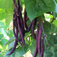Trionfo Violetto (25 kg) seminte de fasole urcatoare violet, Agrosem