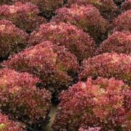 Tuska - 2500 sem - Seminte de salata tip Lollo Rosa cu capatani mari pline bine structurate sub forma unor bucle fine de culoare rosie-visiniu de la Enza Zaden