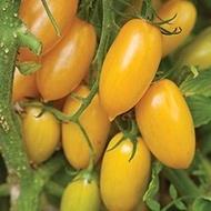 Zlatista (Auriu) – 0.5 gr – Seminte de Tomate Galbene Soi Semitimpuriu de la Geosem Bulgaria