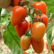 Zucchello F1 - 500 sem - Seminte de rosii nedeterminate tip Roma cherry 25 grame/fruct de la United Genetics