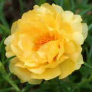 Flori de piatra galbene duble (1000 seminte) floarea de piatra galbena Portulaca grandiflora