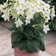 Regina noptii alba (0.3 grame) seminte de flori cu miros puternic placut, Agrosem