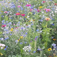 Amestec flori urcatoare (1 gram) seminte de flori urcatoare pentru decorarea teraselor, Agrosem