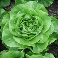 Aletta - 5000 sem - Seminte de salata de capatana ce are o perioada de vegetatie cuprinsa intre 50-65 de zile in functie de greutatea dorita si atinge in medie greutati cuprinse intre 400 si 600 de grame de la Rijk Zwaan