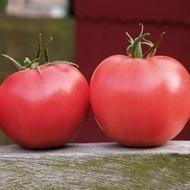Aphen F1 - 1000 de Seminte de tomate Roz Hibrid Nedeterminat Extratimpuriu de la Clause