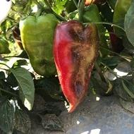 Ardei Capia de Plovdiv (Plovdivska Kapia) – 50 gr – Seminte de Ardei Capia Soi Semitimpuriu Plat Cu Doua Laturi