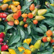 Ardei iute decorativ Oraneta(35 seminte) ardei iuti decorativi planta pitica pentru ghivece, Florian