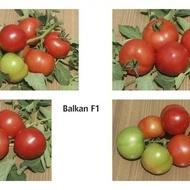 BALKAN F1 (50 seminte) Seminte Tomate Balkan Extratimpurii pentru sere si camp de la Geosem