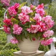 Begonie Pink Balcony (3 bulbi), floare mare, culoare galben cu portocaliu, bulbi de flori
