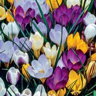 Brândușe (Crocus) Mixte (7 bulbi), un amestec jucaus de culori cu flori mari, bulbi de flori