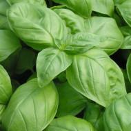 Busuioc Genovese (2000 seminte) de busuioc verde planta aromatica