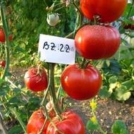 Buzau 22 (5 gr) seminte rosii romanesti determinate pentru camp, SCDL Buzau