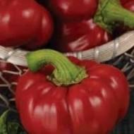 Calabrese F1 - 500 sem - Seminte de ardei gogosar cu aparat foliar bine dezvoltat si vigoare buna ce produce 12-14 fructe ferme pe planta avand o greutate medie de 80-100 grame de la United Genetics