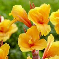 Canna Apricot Dream (1 bulb), floare exotica mare, culoare portocaliu, bulbi de flori