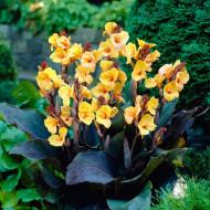 Canna Louis Cottin (1 bulb), floare exotica mare, culoare galben, bulbi de flori