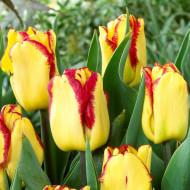 Cape Town (8 bulbi), lalele bicolore galben cu rosu, bulbi de flori