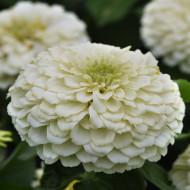 Carciumarese mari albe (100 seminte) de flori carciumareasa alba