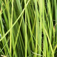 Carex Phoenix Green (ghiveci 1 l), planta perena ornamentala rogoz, culoare verde crud