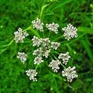 Chimion - Seminte Plante Medicinale Chimion de la Florian