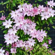 Clematite Omoshiro (1.5 m in ghiveci de 2 L), tufa ornamentala cataratoare Clematis, varietate japoneza cu flori mari, intr-o combinatie delicata de alb si roz