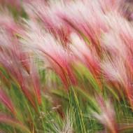 Coada Vulpii (Hordeum Jubatum Foxtail Barley 0.15 gr de seminte) de iarba decorativa cu axile violet-argintii, Laktofol