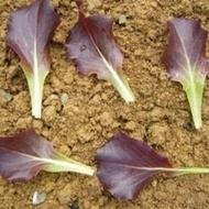 Copacabana - 1000 sem - Seminte de salata tip Baby Leaf ce produce capatani de dimensiuni medii si frunze de un rosu intens ce se pot cultiva pe toata perioada anului de la ISI Sementi