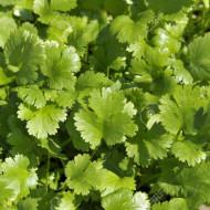 Coriandru (300 seminte), planta anuala aromatica, medicinala, Agrosem