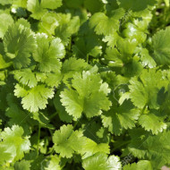 Coriandru (300 seminte), planta anuala aromatica si medicinala, Agrosem