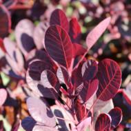 Cotinus Lilla (ghiveci 1,5 L), arbust decorativ cu frunze purpurii
