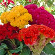 Creasta Cocosului batuta mix (440 seminte), planta anuala, flori viu colorate, galbene, rosii, roz, Agrosem