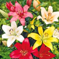 Crin Asiatic Mixed (3 bulbi), amestec de culori elegante, bulbi de Crini