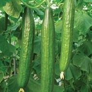 Defense F1 - 1000 sem - Seminte de castraveti cu fructe de culoare verde inchis avand o lungime de 30-33 cm productii constante si o putere mare de regenerare de la Enza Zaden