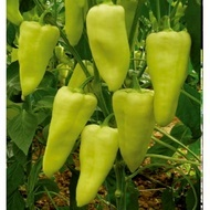 Elmas F1 - 500 sem - Seminte de ardei cu fruct de culoare verde-galben carnos rezistent dupa recoltare de la Yuksel