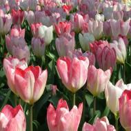 Exotic Purissima (8 bulbi), lalele alb cu roz, bulbi de flori
